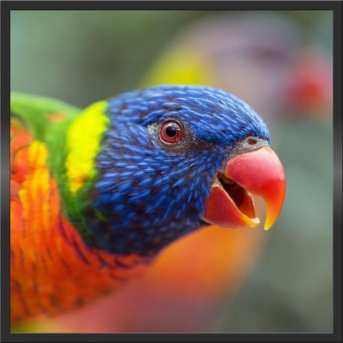 Infraobraz Papoušek 60x60cm (300W)